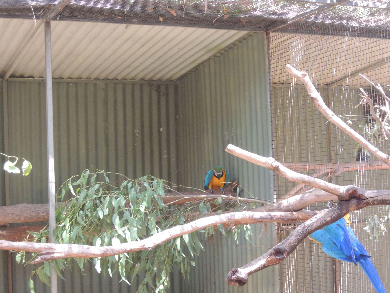 Papagáj Ara tára