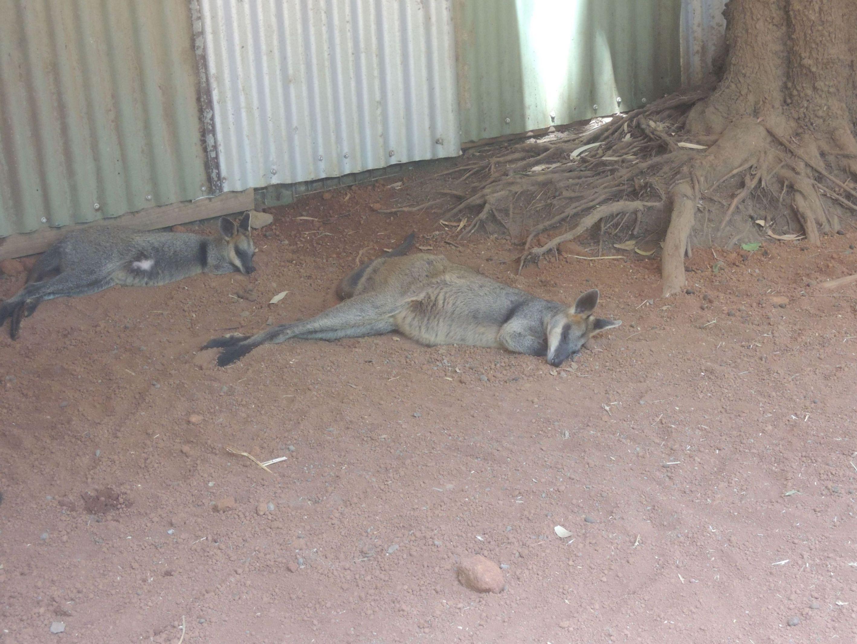 Spiace klokany