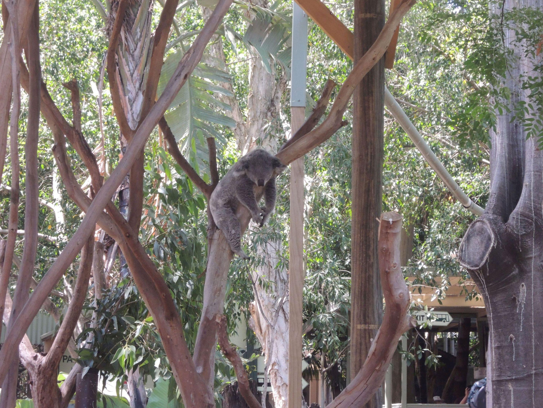 Spiaca koala 3