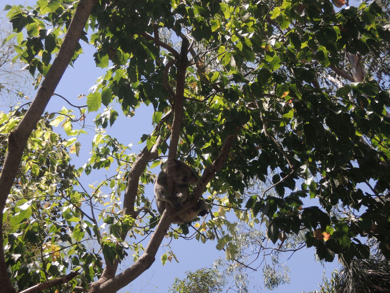 Spiaca koala 4