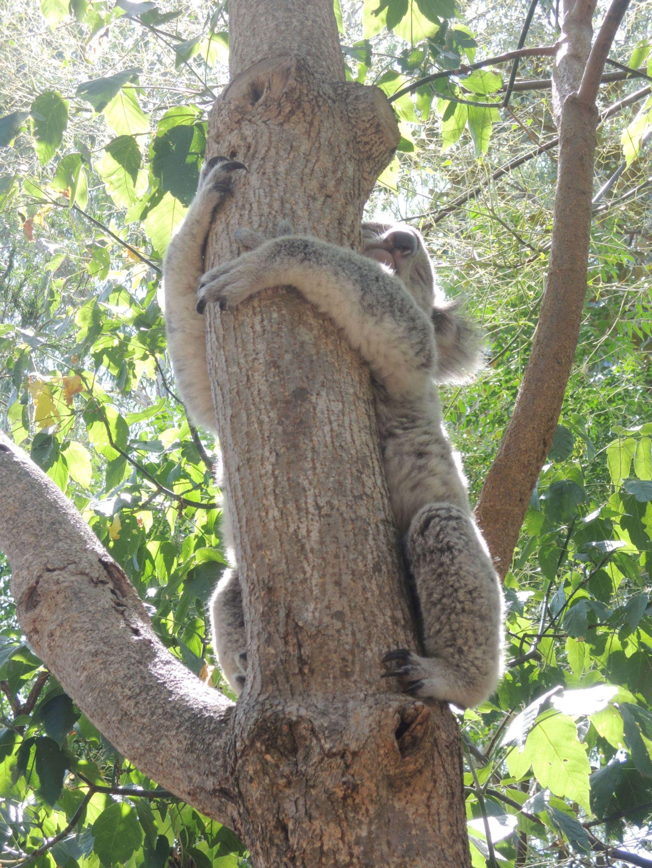 Spiaca koala 5