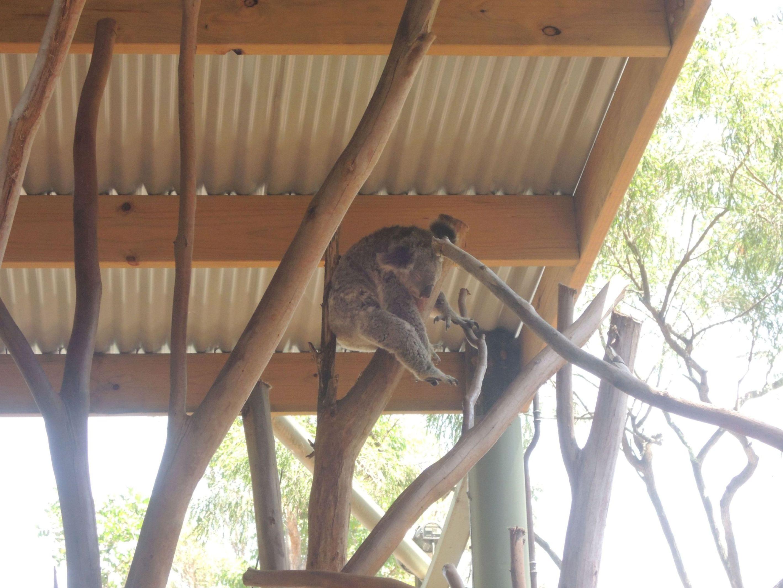 Spiaca koala 6