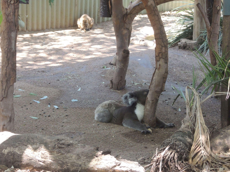 Spiaca koala 7