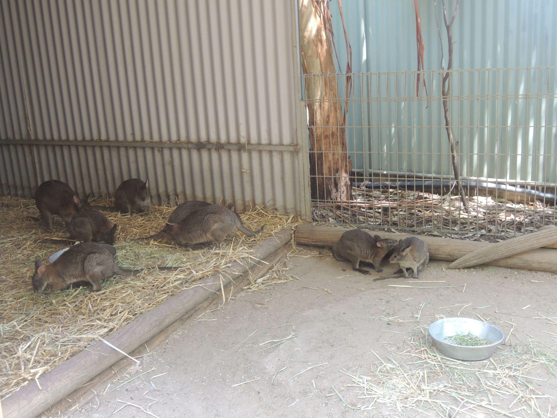 Skrývajúce sa wallaby