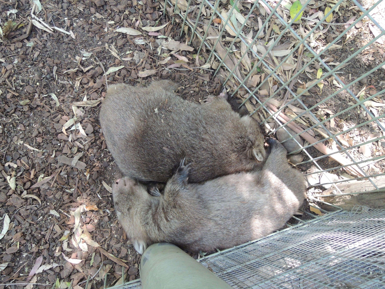 Spiace wombaty